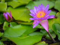 Water Lily - Peaceful & Tranquil. A purple water lily, nestling peacefully among lily pads while the sun shines overhead royalty free stock photos