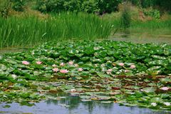 Water lilies. Water lily, perennial aquatic plant. A family of angiosperm, dicotyledonous, and water lily, belonging to the genus nilodon. Because the plants of royalty free stock images