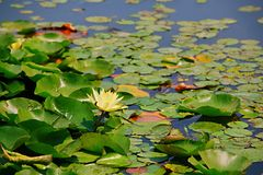 Water lilies. Water lily, perennial aquatic plant. A family of angiosperm, dicotyledonous, and water lily, belonging to the genus nilodon. Because the plants of stock image