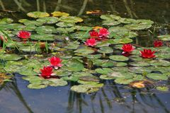 Water lilies. Water lily, perennial aquatic plant. A family of angiosperm, dicotyledonous, and water lily, belonging to the genus nilodon. Because the plants of royalty free stock photography