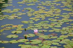 Water lilies. Water lily, perennial aquatic plant. A family of angiosperm, dicotyledonous, and water lily, belonging to the genus nilodon. Because the plants of royalty free stock photos