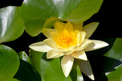 Water Lily. Period of flowering water lilies, beautiful flowers Stock Images
