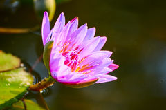 The water lily Royalty Free Stock Photos