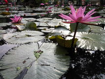 Water lily. Pink water lily Stock Photos