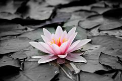 Water Lily, Pink, Aquatic Plant Royalty Free Stock Photos