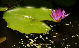 Water Lily Pink Royalty Free Stock Photo