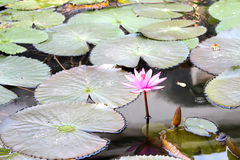 Water lily.pink flowers on water Stock Photos