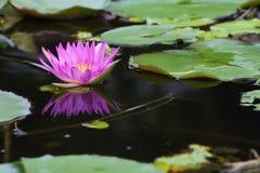 Lotus. Pink Lotus in the Garden Royalty Free Stock Photo