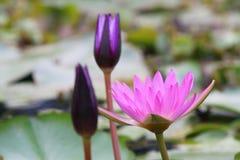 Lotus. Pink Lotus in the Garden Royalty Free Stock Photos