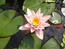 Water Lily 1 Royalty Free Stock Photo