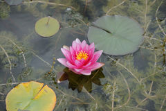 Water lily. Pink waterlily with three leaves Royalty Free Stock Photo
