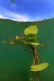 Water lily plant Stock Images