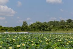Lotus field on Carter Lake Iowa Motor boats crossing each other. stock image