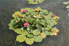 Water Lily Plants. Stock Photos