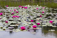 Water lily plants on a pond Stock Photography