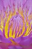 Water Lily  pollen Stock Images