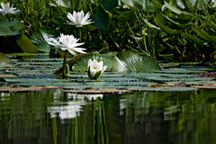 Water Lily in Pond Royalty Free Stock Photos