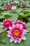 Water lily pond Stock Images