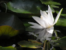 Water lily in the pond Royalty Free Stock Photography