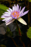 Water Lily in a pond. Up close Stock Photo