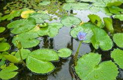 Water lily in pond Stock Photo