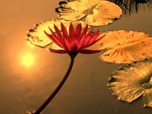 Water Lily Pond Stock Photography