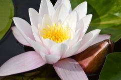Water lily. In a pond Stock Photos