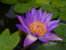 Water Lily in the pond Royalty Free Stock Images