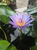 Water lily. Pond Stock Image