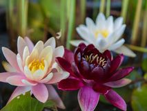 Water Lily. On the pond Stock Photography