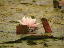 Water lily in a pond... stock images