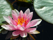 Water lily in a pond. Beautiful pink water lily in a pond Stock Images