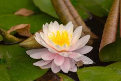 Water lily in a pond stock photography