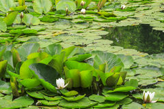 Water lily in a pond. Beautiful white water lily in a pond Royalty Free Stock Images