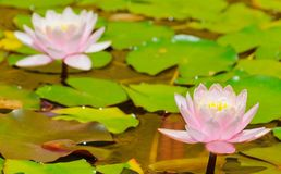 Water lily in the pond Stock Photography