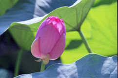 Water lily. The water lily in the pond, blooming in Summer, original from India, when The flower withered will becomes torus called lotus nut, in Autumn the root Stock Image