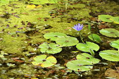 Water Lily and pond Stock Photos