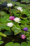 Water lily in the pond Stock Photo