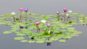 Water lily in the pond Stock Photos