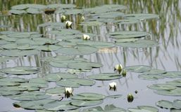 Water lily on pond the dark one. Water lily on pond the dark one Royalty Free Stock Photography