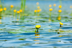Water lily on pond Stock Image