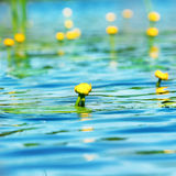 Water lily on pond Stock Photo