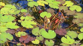 Water lily pond in the garden stock video