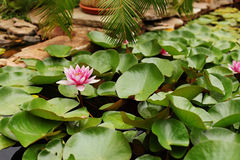 Water lily pond in the garden. Many green leaves on water and pi Stock Photography