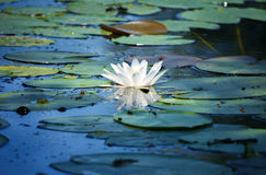 Water lily in a pond Stock Photo