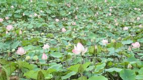 Water Lily Pond High Definition Stock Footage. Water lilies nymphaeaceae in a lily pond, with a green foliage background high definition stock footage stock footage