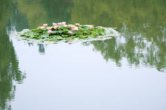 Water lily pond Stock Photos