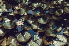 Water lily in a pond with lots of leaves around it. White water lily in a pond with lots of leaves around it Stock Photos