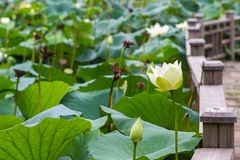 Water Lily Pond Royalty Free Stock Images