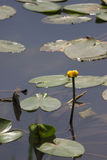 Water lily in a pond in a park in Israel Royalty Free Stock Photography